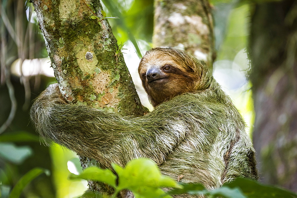 Brown-throated three-toed Sloth (Bradypus variegatus), Tortuguero National Park, Limon Province, Costa Rica, Central America - 1109-4147