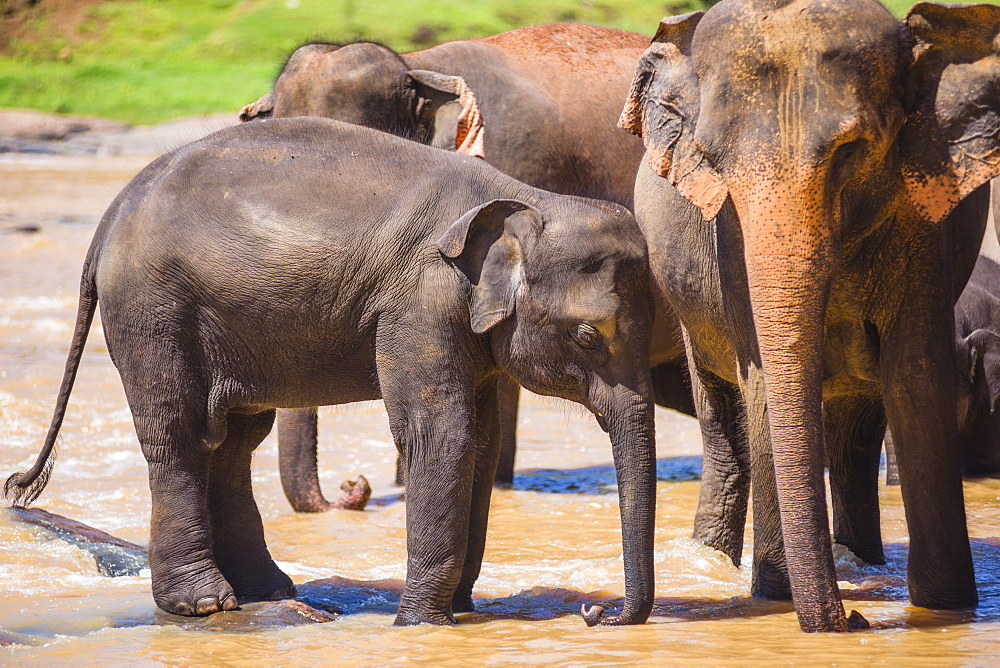Mother and baby elephant in the Maha Oya River, Pinnawala Elephant Orphanage, near Kegalle in the Hill Country of Sri Lanka, Asia