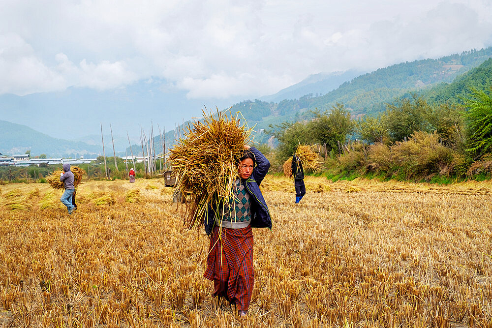 Harvesting rice and wheat, field workers, Bumthang village. - 1111-159