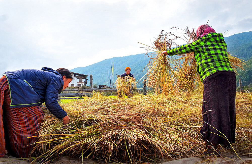 Harvesting rice and wheat, field workers, Bumthang village. - 1111-160