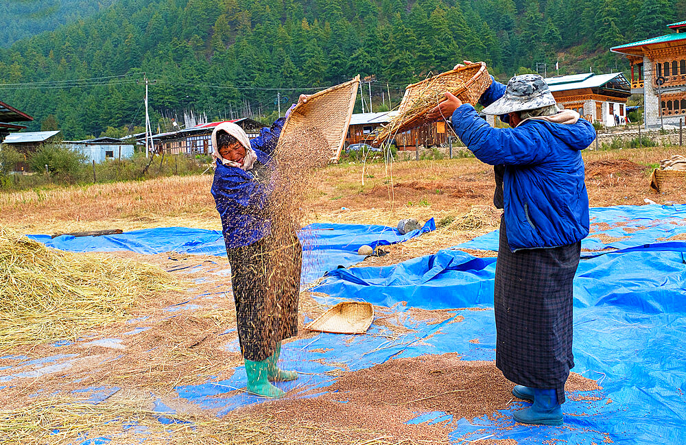 Harvesting rice and wheat, field workers, Bumthang village. - 1111-161