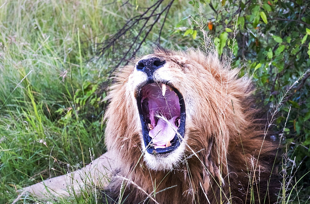 Male lion yawning, safari, Maasai Mara National Reserve, Kenya, East Africa, Africa - 1111-24