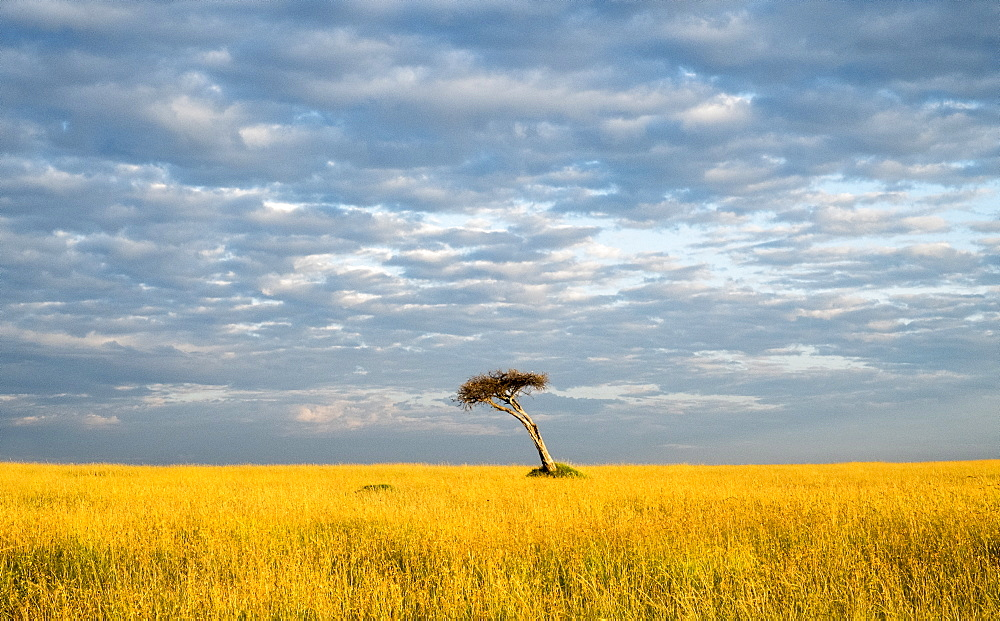 Single acacia tree, Maasai Mara National Reserve, Kenya, East Africa, Africa
