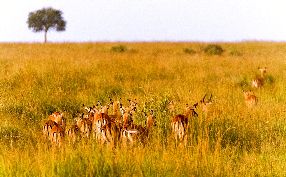 Gazelles, Maasai Mara National Reserve, Kenya, East Africa, Africa - 1111-26