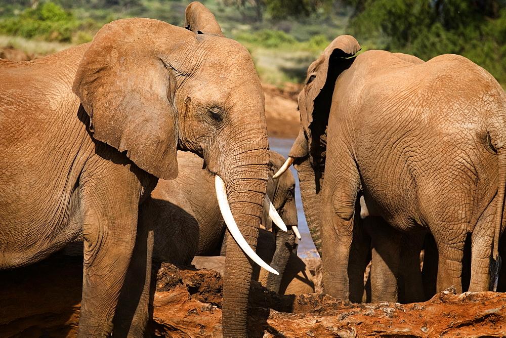 Herd of elephants, Samburu National Reserve, Kenya, East Africa, Africa - 1111-44