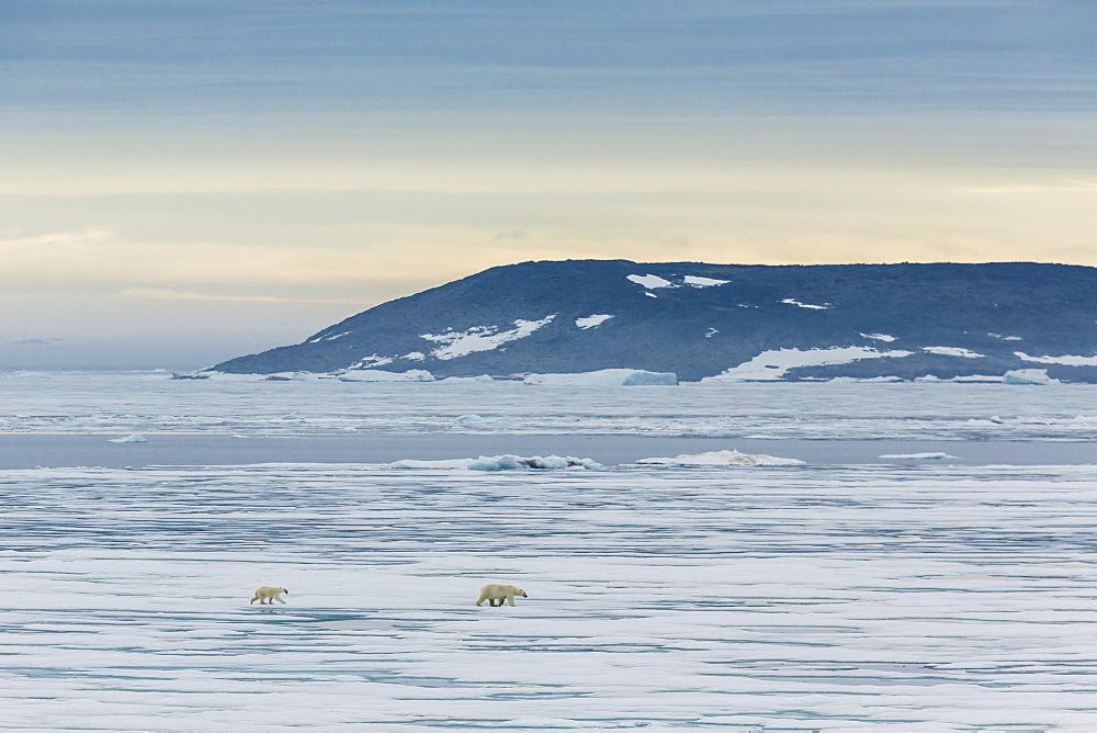 Mother polar bear (Ursus maritimus) with cup of year on ice in Hinlopen Strait, Svalbard, Norway, Scandinavia, Europe - 1112-1192
