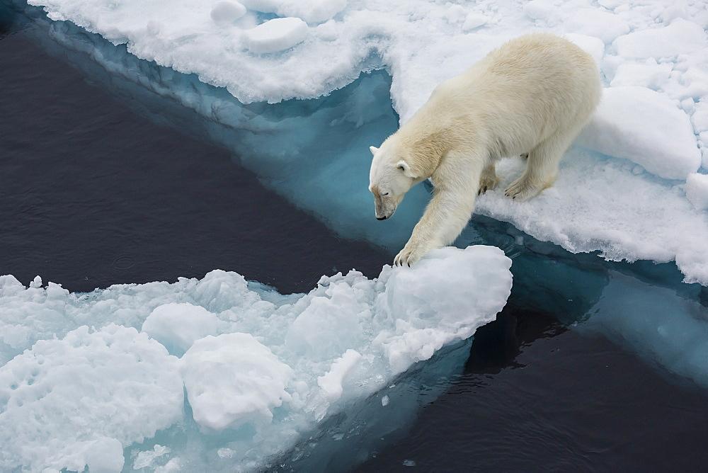 Young adult polar bear (Ursus maritimus) on ice in Hinlopen Strait, Svalbard, Norway, Scandinavia, Europe - 1112-1197