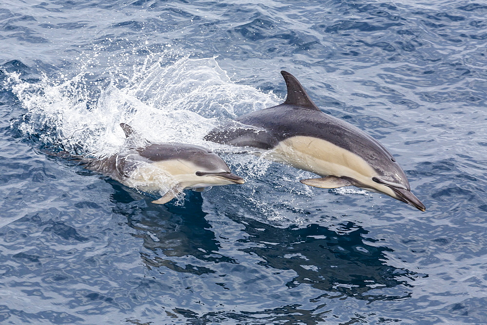Long-beaked common dolphin (Delphinus capensis) leaping near White Island, North Island, New Zealand, Pacific