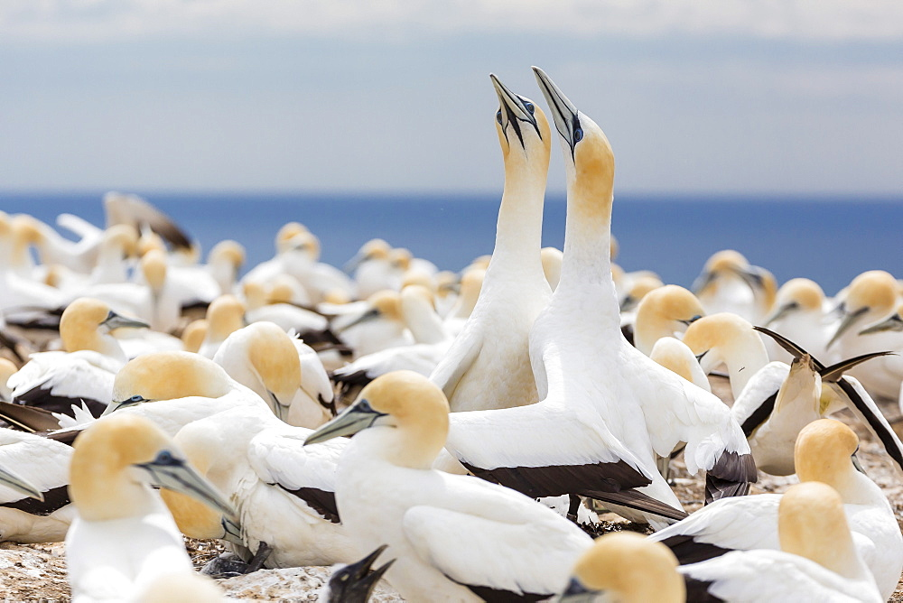 Australasian gannet (Morus serrator) courtship display at Cape Kidnappers, North Island, New Zealand, Pacific - 1112-1276