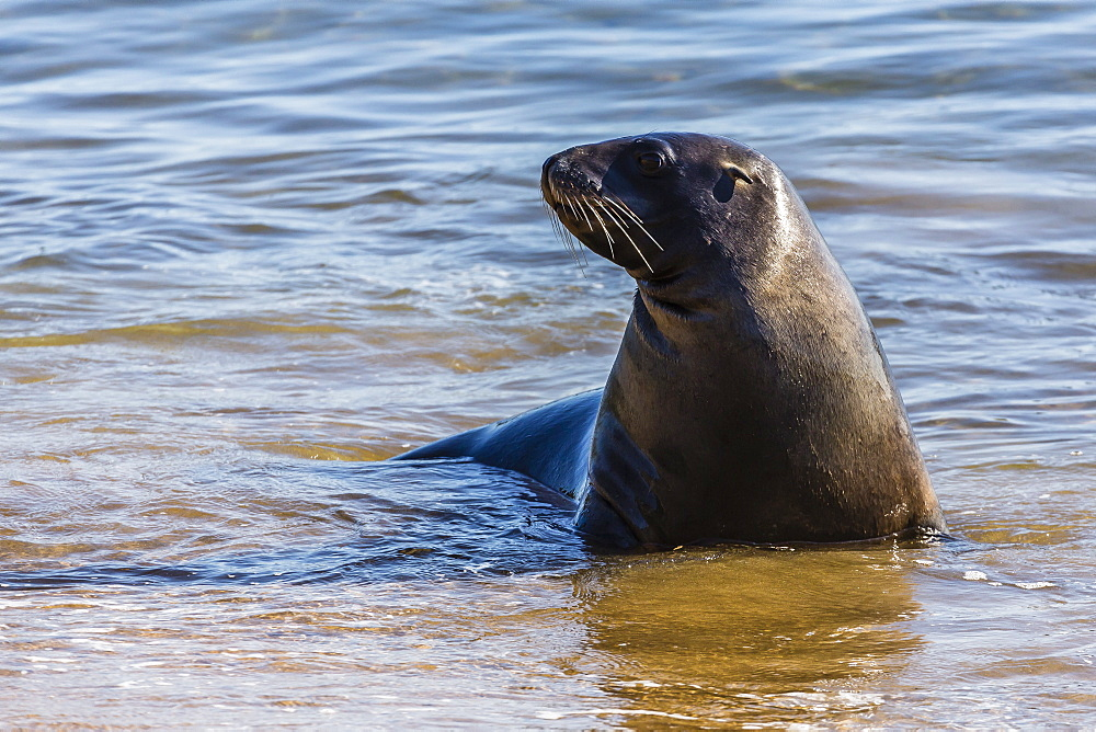 Adult New Zealand (Hooker's) sea lion (Phocarctos hookeri), Ulva Island, off Stewart Island, South Island, New Zealand, Pacific