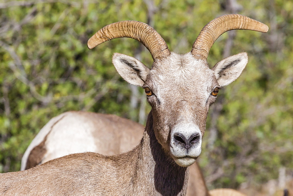 Adult desert bighorn sheep (Ovis canadensis), Zion National Park, Utah, United States of America, North America