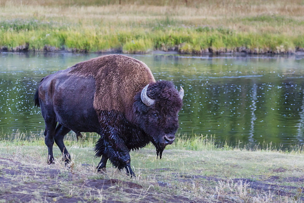 Lone bison (buffalo) (Bison bison) on the move in Yellowstone National Park, UNESCO World Heritage Site, Wyoming, United States of America, North America
