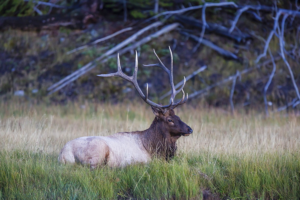 Bull elk (Cervus canadensis), along the Madison River, Yellowstone National Park, UNESCO World Heritage Site, Wyoming, United States of America, North America