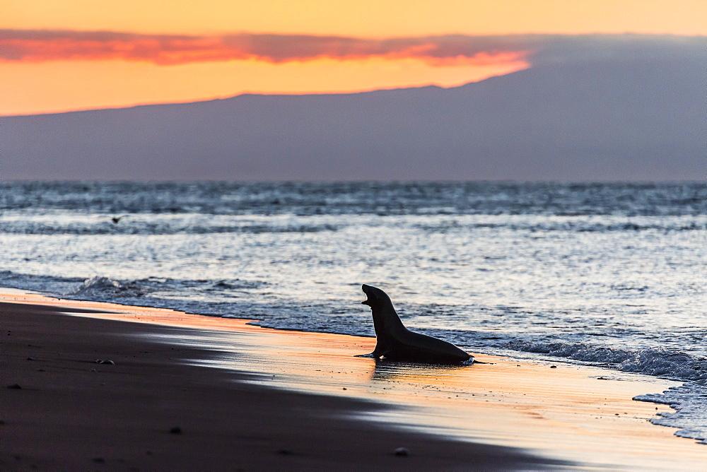 Galapagos sea lion ( Zalophus wollebaeki) on beach at sunset on Rabida Island, Galapagos Islands, UNESCO World Heritage Site, Ecuador, South America
