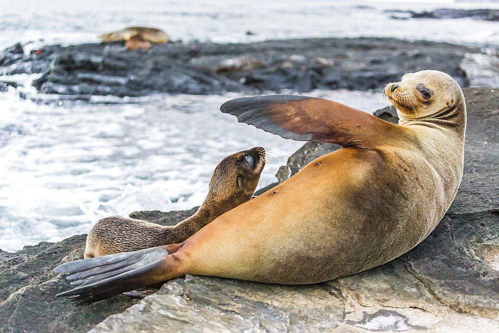 Galapagos sea lion (Zalophus wollebaeki) pup nursing in Puerto Egas, Santiago Island, Galapagos Islands, UNESCCO World Heritage Site, Ecuador, South America