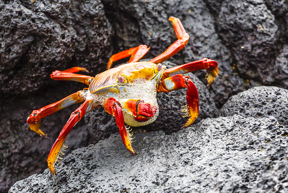 Sally lightfoot crab (Grapsus grapsus) preparing to shed its exoskeleton in Urbina Bay, Isabela Island, Galapagos Islands, Ecuador, South America