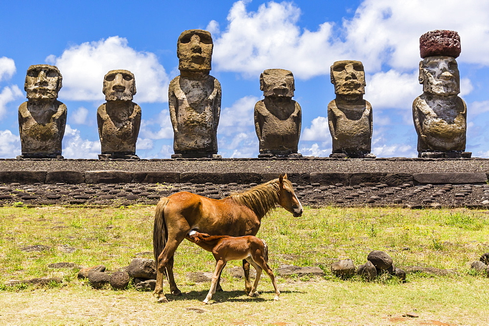 Mare nursing foal at the 15 moai restored ceremonial site of Ahu Tongariki on Easter Island (Isla de Pascua) (Rapa Nui), UNESCO World Heritage Site, Chile, South America