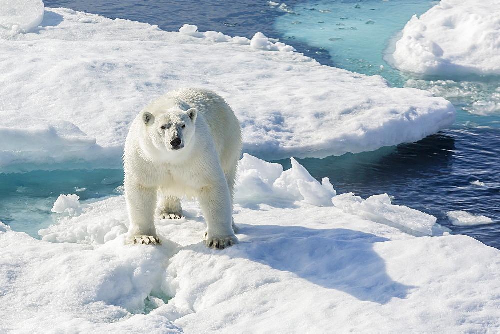 Curious polar bear (Ursus maritimus), Cumberland Peninsula, Baffin Island, Nunavut, Canada, North America