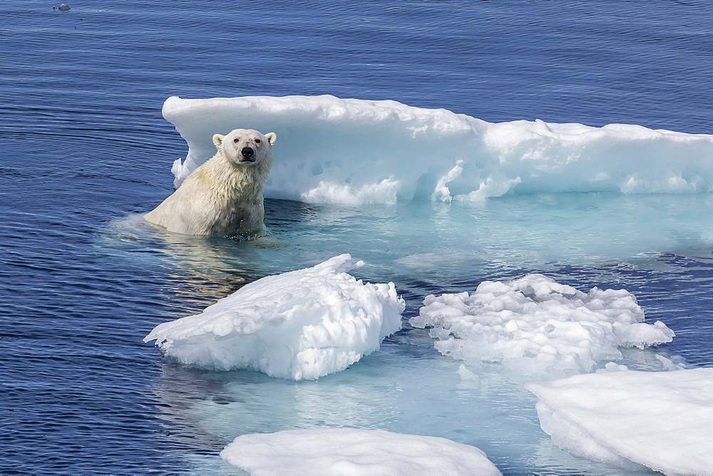 Adult polar bear (Ursus maritimus) emerging onto ice, Cumberland Peninsula, Baffin Island, Nunavut, Canada, North America