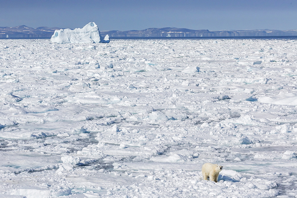 Adult polar bear (Ursus maritimus) on ice floe, Cumberland Peninsula, Baffin Island, Nunavut, Canada, North America
