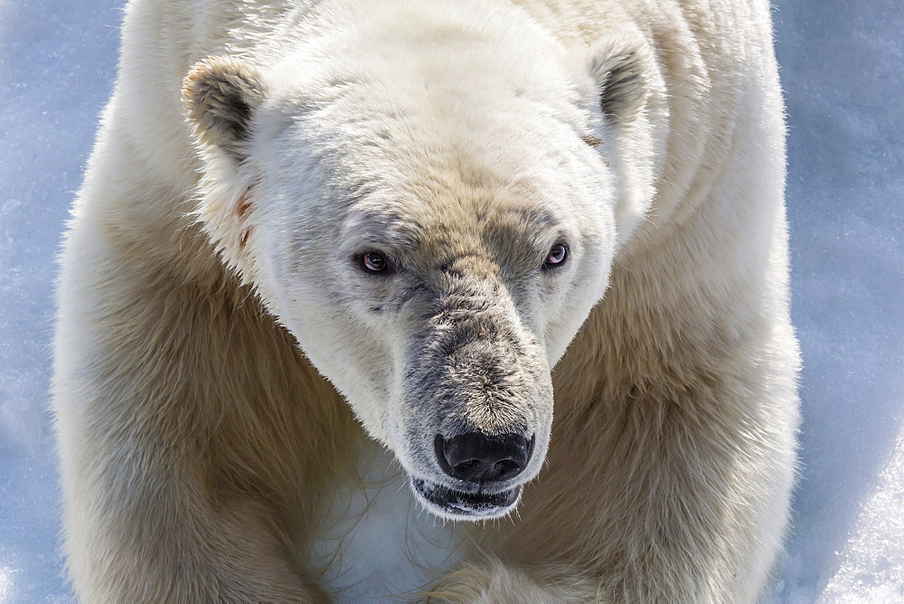 Adult polar bear (Ursus maritimus) close up head detail, Cumberland Peninsula, Baffin Island, Nunavut, Canada, North America