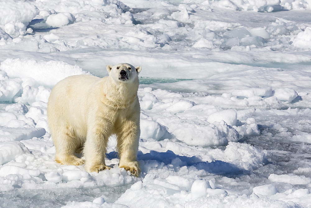 Adult polar bear (Ursus maritimus) on ice floes, Cumberland Peninsula, Baffin Island, Nunavut, Canada, North America