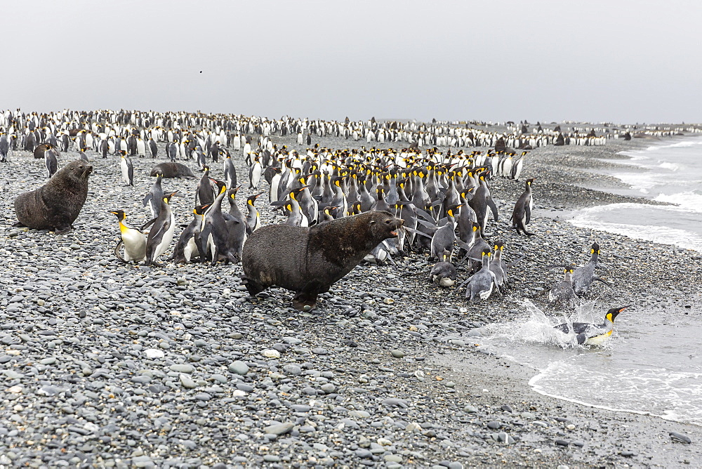 Antarctic fur seal (Arctocephalus gazella) charging through king penguins at Salisbury Plain, South Georgia, UK Overseas Protectorate, Polar Regions