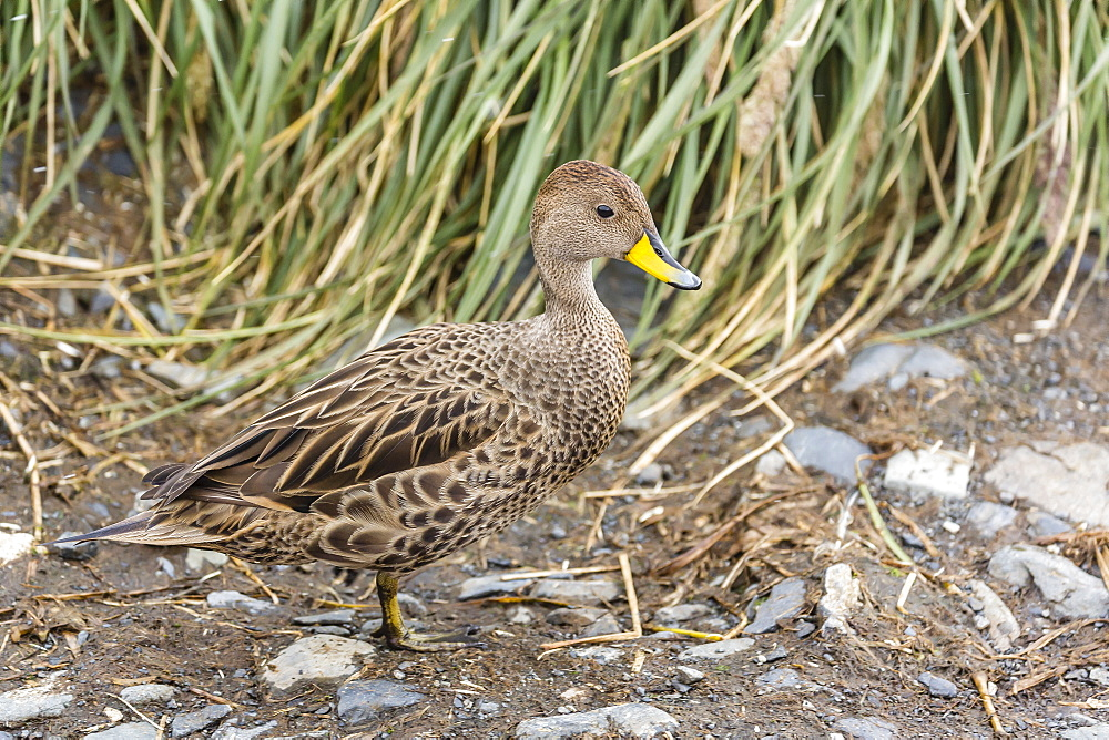 Adult South Georgia pintail (Anas georgica georgica), Prion Island, South Georgia, UK Overseas Protectorate, Polar Regions