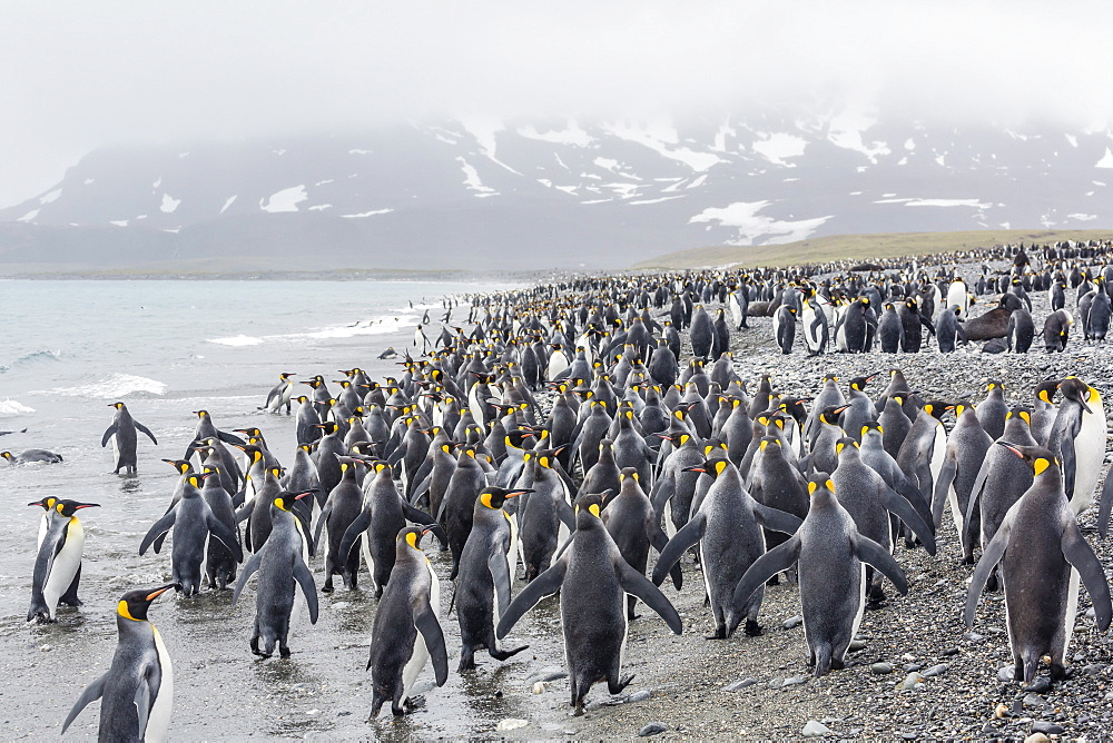 King penguins (Aptenodytes patagonicus) at breeding and nesting colony at Salisbury Plain, South Georgia, UK Overseas Protectorate, Polar Regions