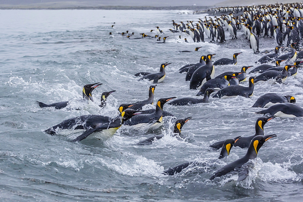 King penguins (Aptenodytes patagonicus) returning from sea at Salisbury Plain, South Georgia, UK Overseas Protectorate, Polar Regions