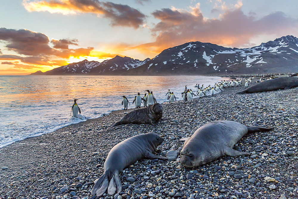Southern elephant seal (Mirounga leonina), weaner pups at sunrise, Gold Harbour, South Georgia, UK Overseas Protectorate, Polar Regions