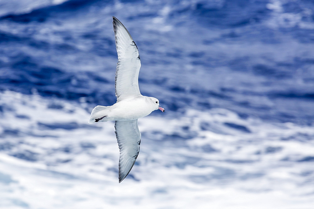 Adult Southern fulma (Fulmarus glacialoides) in flight at Coronation Island, South Orkney Islands, Antarctica, Polar Regions