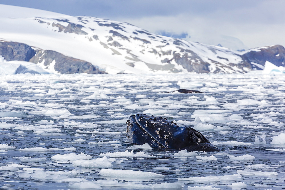 Humpback whale (Megaptera novaeangliae), adult spy-hopping in Cierva Cove, Antarctica, Polar Regions