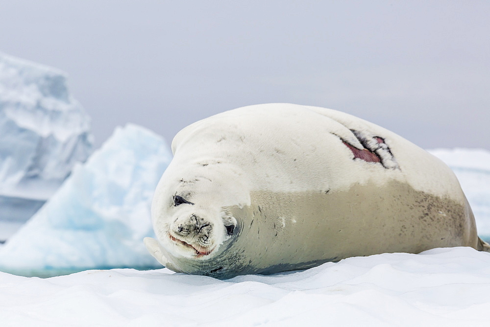 Adult crabeater seal (Lobodon carcinophaga) with fresh wound hauled out on ice floe, Neko Harbor, Andvord Bay, Antarctica, Southern Ocean, Polar Regions