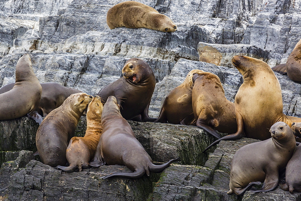 South American sea lions (Otaria flavescens) in breeding colony hauled out on small islets just outside Ushuaia, Beagle Channel, Argentina, South America
