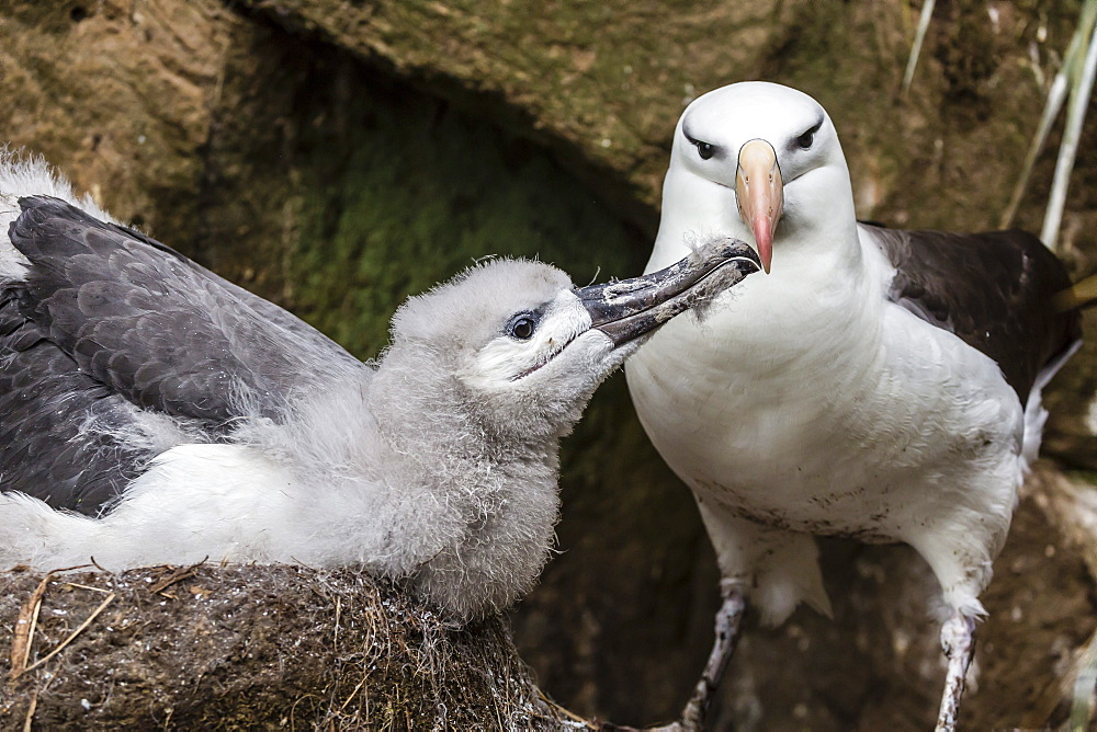 Black-browed albatross (Thalassarche melanophris) chick in nest being fed by adult on Saunders Island, Falkland Islands, UK Overseas Protectorate, South America