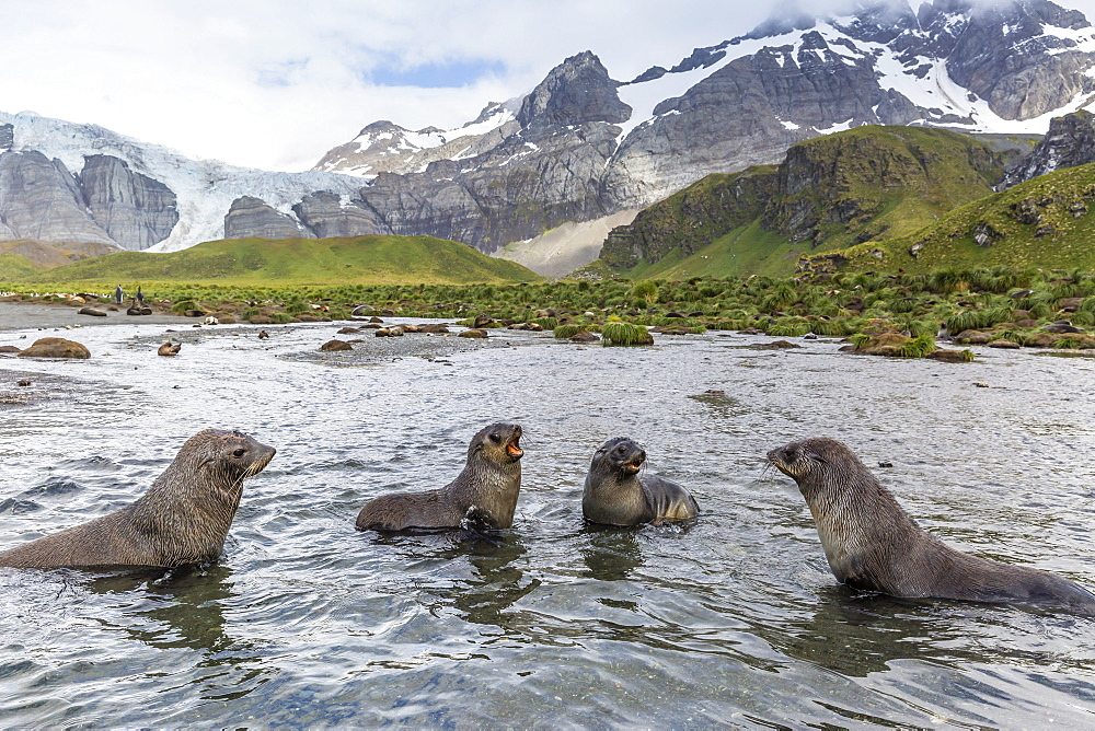 Antarctic fur seal pups (Arctocephalus gazella) mock-fighting in Gold Harbor, South Georgia, UK Overseas Protectorate, Polar Regions