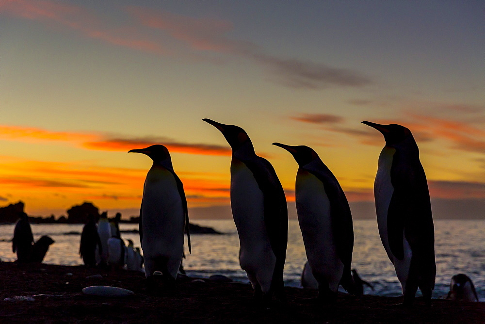 King penguin (Aptenodytes patagonicus) silhouetted at sunrise at breeding colony at Gold Harbor, South Georgia, UK Overseas Protectorate, Polar Regions