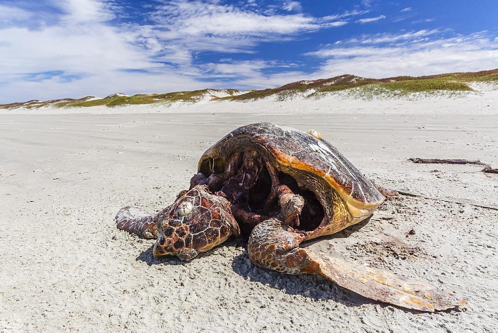 A dead loggerhead sea turtle (Caretta caretta) on the beach on Magdalena Island, Baja California Sur, Mexico, North America