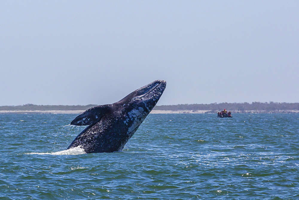 California gray whale (Eschrichtius robustus) breaching in Magdalena Bay, Baja California Sur, Mexico, North America