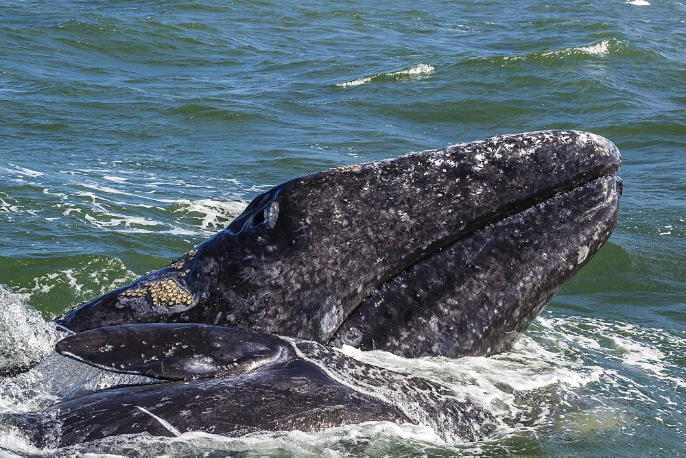 California gray whale (Eschrichtius robustus) calf with mother in Magdalena Bay, Baja California Sur, Mexico, North America