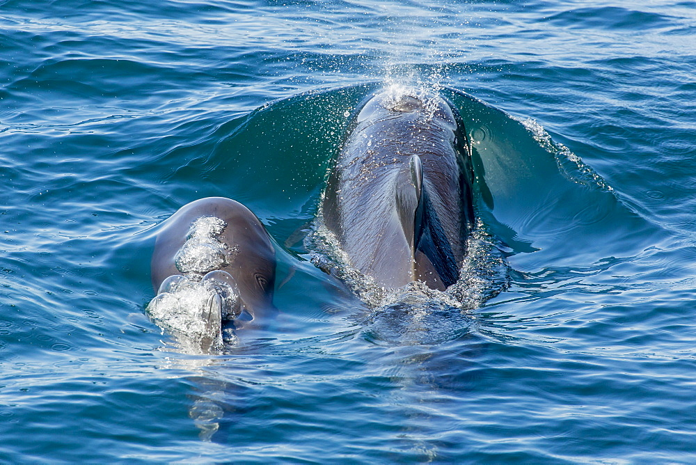 Short-finned pilot whale (Globicephala macrorhynchus) cow and calf surfacing off Isla San Marcos, Baja California, Mexico, North America