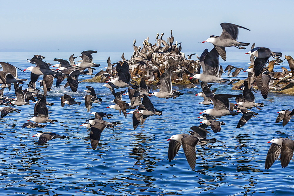Adult Heermann's gulls (Larus heermanni) taking flight on Isla Rasita, Baja California, Mexico, North America