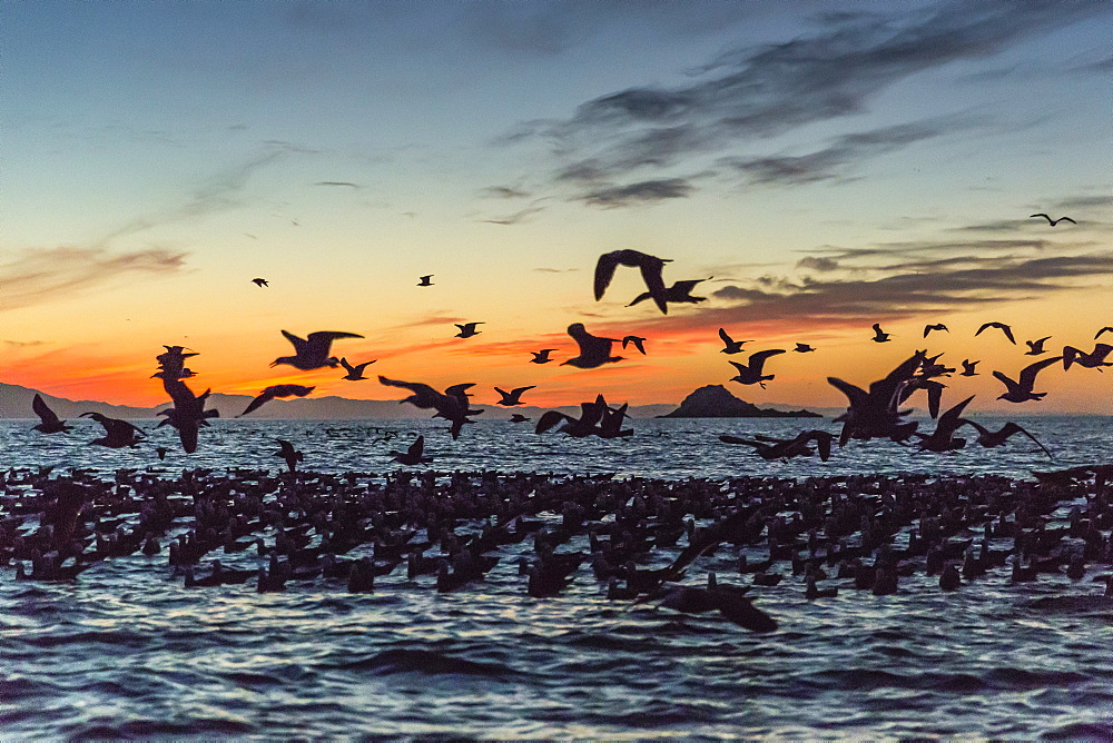 Adult Heermann's gulls (Larus heermanni) taking flight at sunset on Isla Rasita, Baja California, Mexico, North America