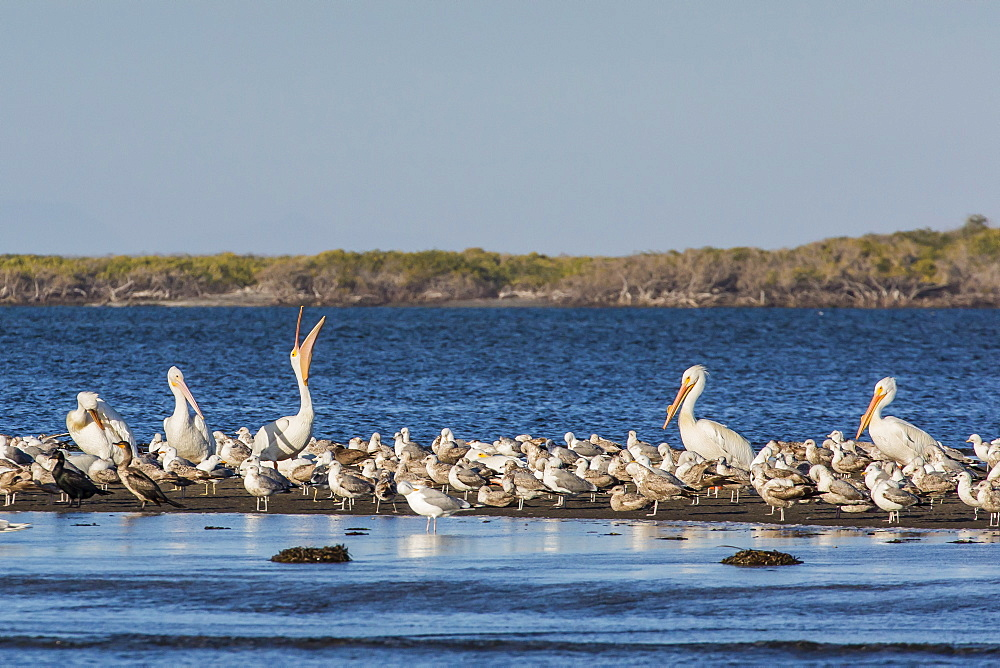 American white pelicans (Pelecanus erythrorhynchos) amongst other shorebirds in Magdalena Bay, Baja California Sur, Mexico, North America