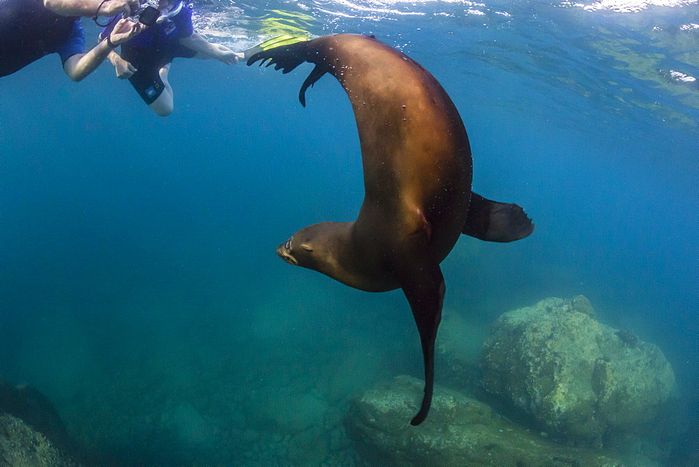Young California sea lion (Zalophus californianus) with snorkeles underwater at Los Islotes, Baja California Sur, Mexico, North America