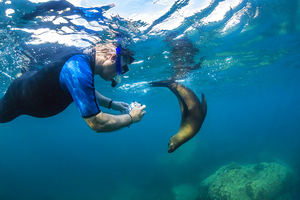 Young California sea lion (Zalophus californianus) with snorkeler underwater at Los Islotes, Baja California Sur, Mexico, North America