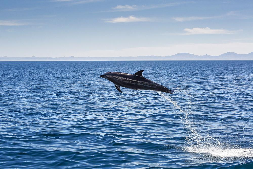 Adult bottlenose dolphin (Tursiops truncatus) leaping in the waters near Isla Danzante, Baja California Sur, Mexico, North America