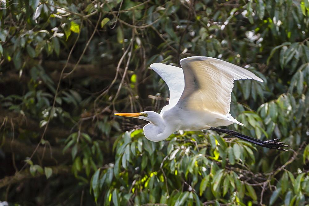 An adult eastern great egret (Ardea alba) in flight on the Daintree River, Daintree rain forest, Queensland, Australia, Pacific