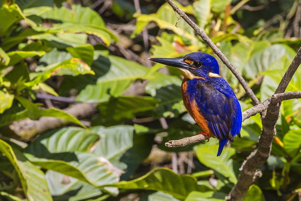 An adult azure kingfisher (Alcedo azurea) on the Daintree River, Daintree rain Forest, Queensland, Australia, Pacific